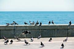 En flock av duvor på sjösidan av Yalta royaltyfria bilder