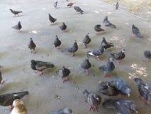 En flock av duvor som äter frö Arkivfoton