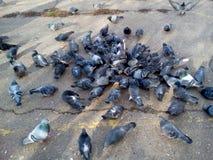 En flock av duvor som äter på trottoaren i en stadsgård Royaltyfri Fotografi