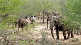 En flock av elefanter Arkivbilder