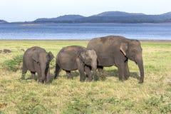 En flock av elefanter betar bredvid behållaren & x28en; konstgjord reservoir& x29; på den Minneriya nationalparken i Sri Lanka Royaltyfria Bilder