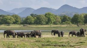 En flock av elefanter betar bredvid behållaren & x28en; konstgjord reservoir& x29; på den Minneriya nationalparken i Sri Lanka Royaltyfria Foton