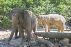 En flock av elefanter på zoo Arkivbild