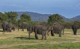 En flock av elefanter som betar på den Minneriya nationalparken i den sena eftermiddagen Arkivbilder