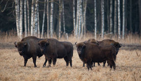 En flock av europén Bison Grazing On The Field Stor brun bisonbonasus för Aurochs fem på björken Forest Background Tjur fem Royaltyfria Bilder