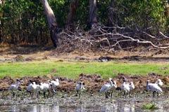En flock av fåglar i den Kakadu nationalparken royaltyfri foto