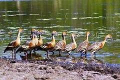 En flock av fåglar i den Kakadu nationalparken arkivbilder