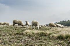 En flock av får Royaltyfria Foton