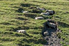 En flock av får använder skugga för att hålla kallt under den varma solen arkivfoto