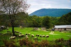 En flock av får betar i alpina ängar royaltyfri bild