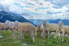 En flock av får i de italienska fjällängarna Arkivfoto