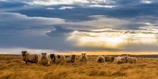 En flock av får i ett fält arkivfoto