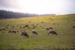 En flock av får på en kulle arkivbilder
