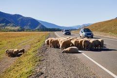 En flock av får på vägen med bilar i de Altai bergen royaltyfri fotografi