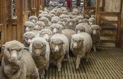 En flock av får skriver in trähållande pennor Arkivbilder