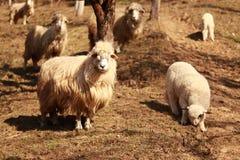 En flock av får som betalar uppmärksamhet till kameran arkivbild