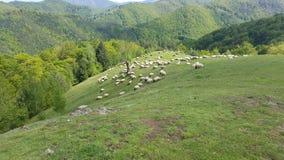 En flock av får som betar det gröna gräset i bergen Arkivbild
