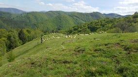 En flock av får som betar det gröna gräset i bergen Royaltyfri Foto