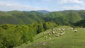En flock av får som betar det gröna gräset i bergen Arkivfoton