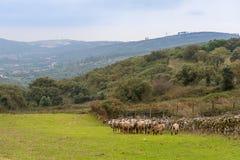 En flock av får som betar i nytt gräs royaltyfria foton