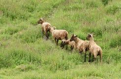 En flock av för Loaghtan för den sällsynta aveln som den Manx ariesen för ovisen får betar på en ört, täckte backen fotografering för bildbyråer