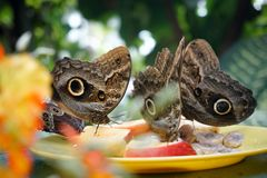 En flock av fjärilar som äter frukt i reserven Närbild arkivbild
