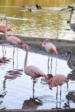 En flock av flamingo i dammet av Moskvazoo Arkivbild