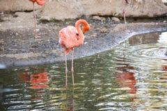 En flock av flamingo i dammet av Moskvazoo Arkivbilder