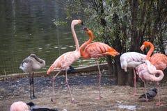 En flock av flamingo i dammet av Moskvazoo Arkivfoto