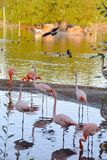 En flock av flamingo i dammet av Moskvazoo Fotografering för Bildbyråer