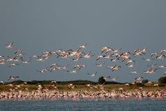 En flock av flamingo, i flykten. Royaltyfri Foto