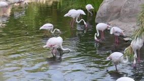 En flock av flamingosökanden för mat på solnedgången i Al Ain, Förenade Arabemiraten UAE Phoenicopterus roseus lager videofilmer