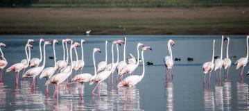 En flock av flamingos arkivbild