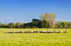 En flock av får på grön äng Royaltyfri Bild