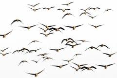 En flock av gäss Royaltyfri Bild