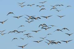 En flock av gäss Arkivfoto