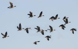En flock av gäss Royaltyfri Foto