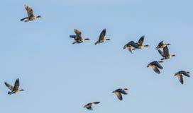 En flock av gäss Royaltyfria Foton