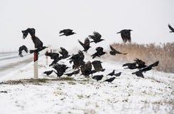 En flock av galanden som flyger ovanför de djupfrysta fälten arkivfoto