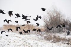 En flock av galanden som flyger ovanför de djupfrysta fälten royaltyfria bilder