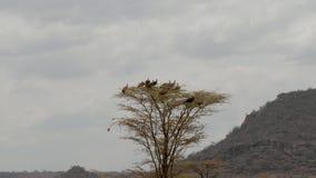 En flock av gam som överst sitter av ett träd och, söker efter rovet i Afrika lager videofilmer