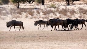 En flock av gnu som fortskrider en ointressant flod-säng i den Transfrontier Kgalagadien, parkerar mellan Namibia och Sydafrika arkivbilder