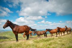 En flock av hästar i bergen Fotografering för Bildbyråer
