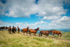 En flock av hästar i bergen Royaltyfria Foton