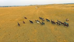 En flock av hästar som springa omkring i vilt tillstånd hingstryttaredjur stock video