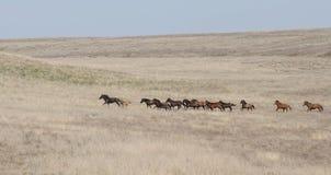 En flock av hästar stöter ihop med stäppen Arkivbild