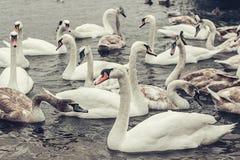 En flock av h?rliga vita svanar p? vattnet Flodnatur med det vita svanbegreppet royaltyfri bild