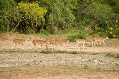 En flock av hjortar Royaltyfria Bilder