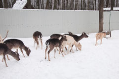 En flock av hjortar i vinter Arkivfoton