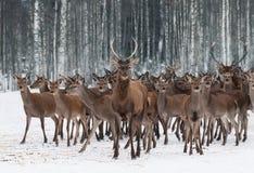 En flock av hjortar av olikt könsbestämmer och olika åldrar som ledas av en nyfiken ung man i förgrunden Elaphus för hjortfullvux royaltyfria foton
